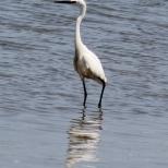 Egret - Poole harbour